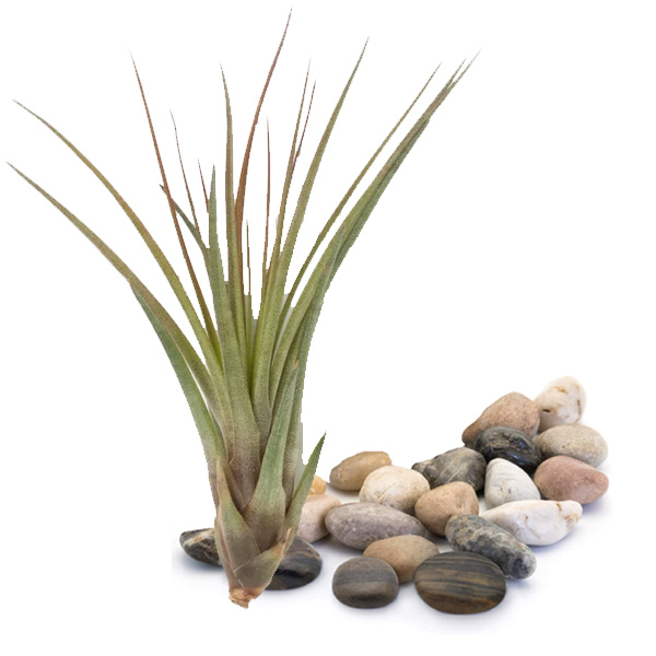 Air Plant Terrarium Kit, Large <a name=kitl>