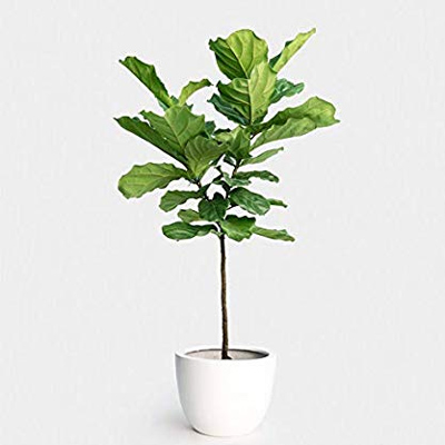 Fiddle Leaf Fig, 10-Inch