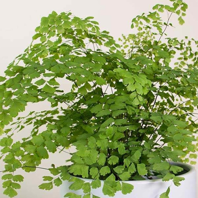 Maidenhair Fern, 6-Inch