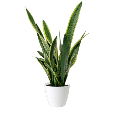 Snake Plant, 6in