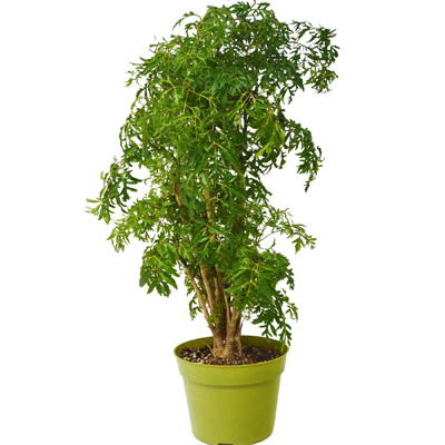 Aralia Ming Stump, 6-Inch