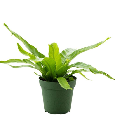 Bird Nest Fern, 4-Inch