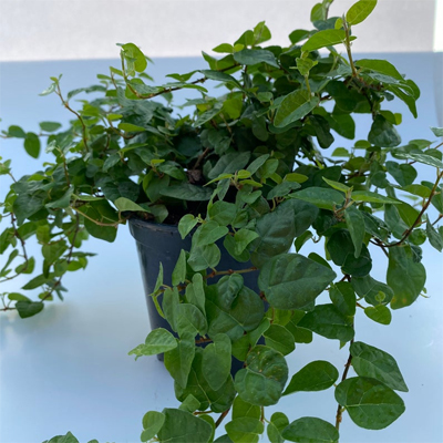 Creeping Fig, 6-Inch