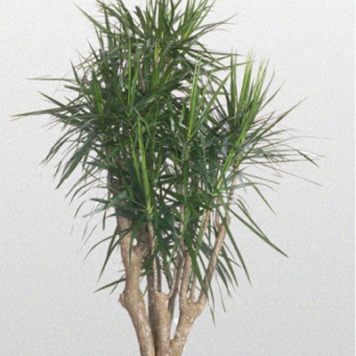 Dracaena Marginata Stump, 10-Inch