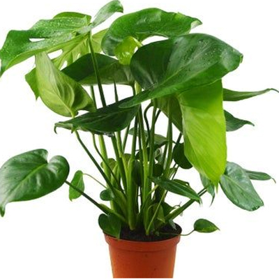 Philodendron Monstera, 6-Inch
