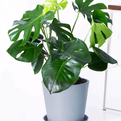 Philodendron Monstera, 8-Inch