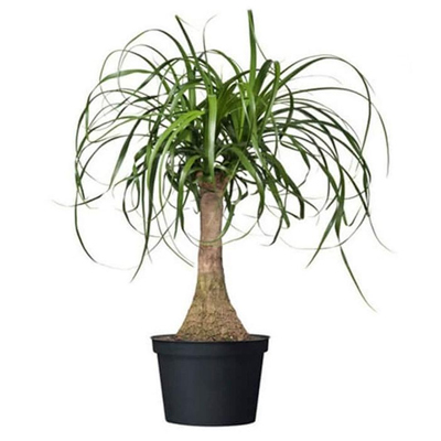 Ponytail Palm, 6-Inch