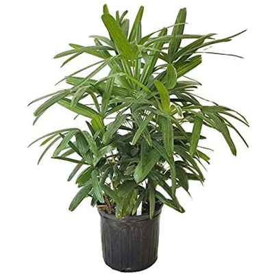Rhapis Palm, 9-Inch